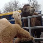 Jamal säger hej till kamelen.